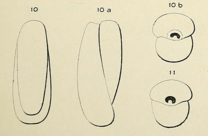 Biloculina elongata d'Orbigny, 1826