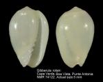 Gibberula prayensis