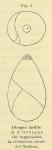 Globulina ovata (d'Orbigny, 1826)