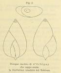 Guttulina caudata d'Orbigny in Fornasini, 1900