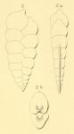 Textilaria acuta d'Orbigny in Fornasini, 1901