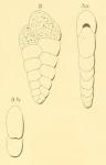 Textularia rugosa d'Orbigny, 1852