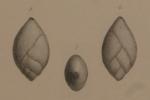 Polymorphina ovata d'Orbigny, 1846