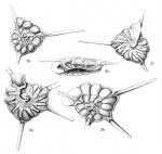 Rotalia trispinosa Thalmann, 1933