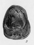 Cushmanella browni (d'Orbigny, 1839)