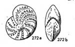 Elphidium discoidale (d'Orbigny, 1839)