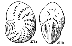 Elphidium lanieri (d'Orbigny, 1839)