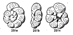 Valvulineria candeiana (d'Orbigny, 1839)