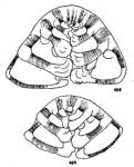 Neoeponides antillarum (d'Orbigny, 1839)