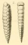 Plecanium lanceolatum Karrer, 1868