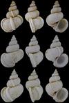 Variciscala raricostata (G. B. Sowerby II, 1844)