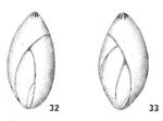 Sigmomorphina sidebottomi Le Calvez, 1958