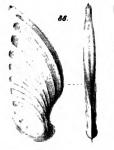 Cristellaria caelata Schwager, 1866