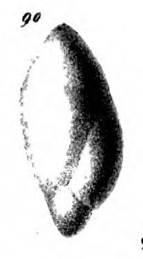 Polymorphina labiata Schwager, 1866