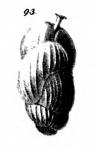 Uvigerina nitidula Schwager, 1866