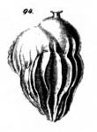 Uvigerina crassicostata Schwager, 1866