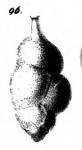 Uvigerina proboscidea Schwager, 1866