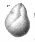 Sphaeroidina murrhyna Schwager, 1866