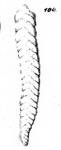 Textilaria praelonga Schwager, 1866