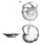 Anomalina wuellerstorfi Schwager, 1866