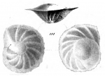 Anomalina bengalensis Schwager, 1866