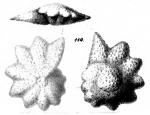 Calcarina nicobarensis Schwager, 1866