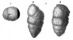 Ataxophragmium laceratum Schwager, 1866