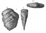 Plecanium lythostrotum Schwager, 1866