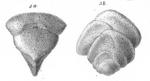 Plecanium laxatum Schwager, 1866