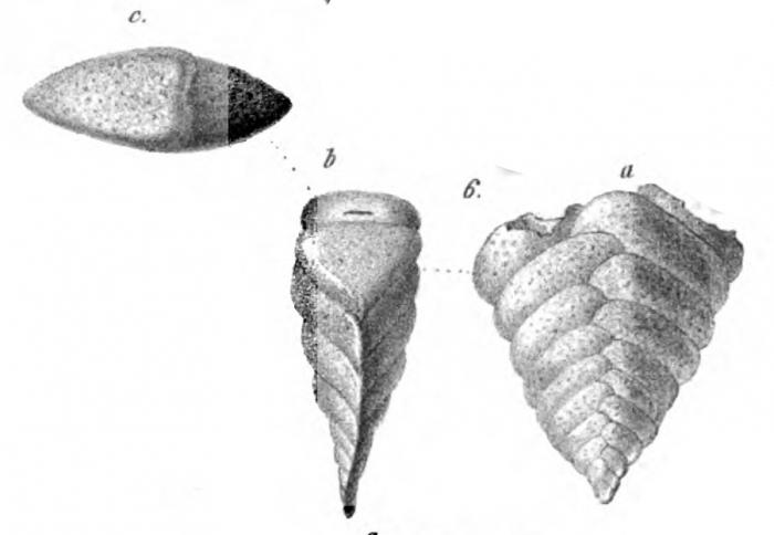 Plecanium solitum Schwager, 1866