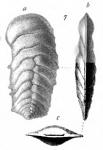 Bigenerina nicobarica Schwager, 1866