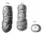 Clavulina variabilis Schwager, 1866