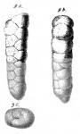 Gaudryina subrotundata Schwager, 1866