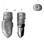 Gaudryina pavicula Schwager, 1866