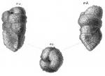 Gaudryina solida Schwager, 1866