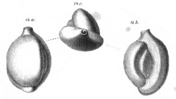 Biloculina lucernula Schwager, 1866