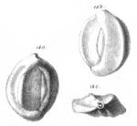 Quinqueloculina eborea Schwager, 1866