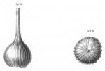 Lagena caepulla Schwager, 1866