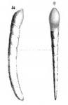Cristellaria perprocera Schwager, 1866