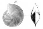 Cristellaria polita Schwager, 1866