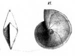Cristellaria nikobarensis Schwager, 1866