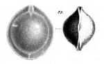 Fissurina capillosa Schwager, 1866