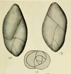 Pseudopolymorphina ovalis Cushman & Ozawa, 1930