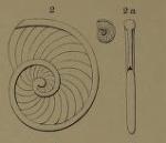 Operculina thouini d'Orbigny, 1850