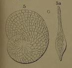 Heterostegina suborbicularis d'Orbigny in Fornasini, 1904