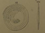 Assilina radiolata Orbigny, 1904