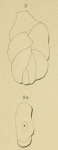 Polymorphina tuberosa d'Orbigny, 1826