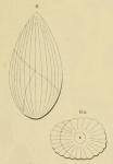 Globulina grateloupi d'Orbigny, 1852