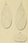 Polymorphina (Globuline) elongata d'Orbigny, 1826