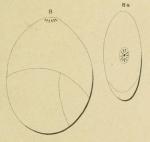 Globulina depressa Orbigny, 1850